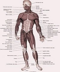 planche anatomie humaine et musculaire